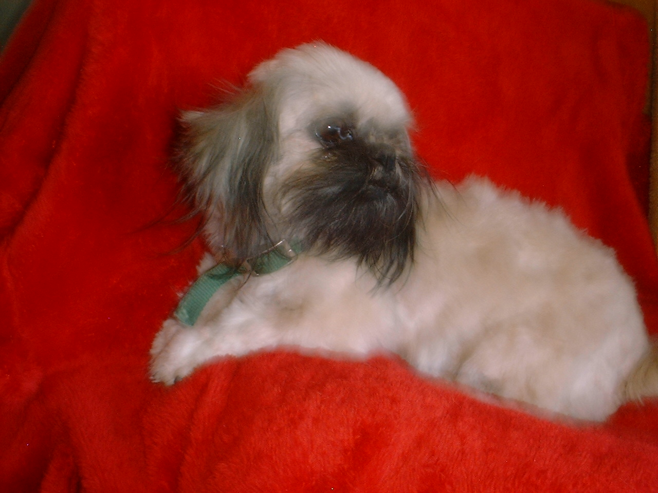 WOW PAL Shih Tzu female puppy born in spring of 08