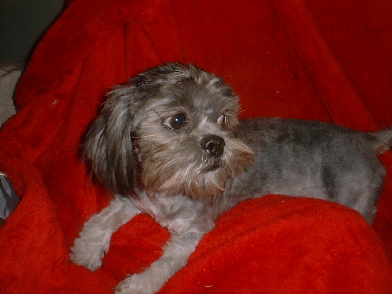 Shih Tzu puppy dog breeder for sale
